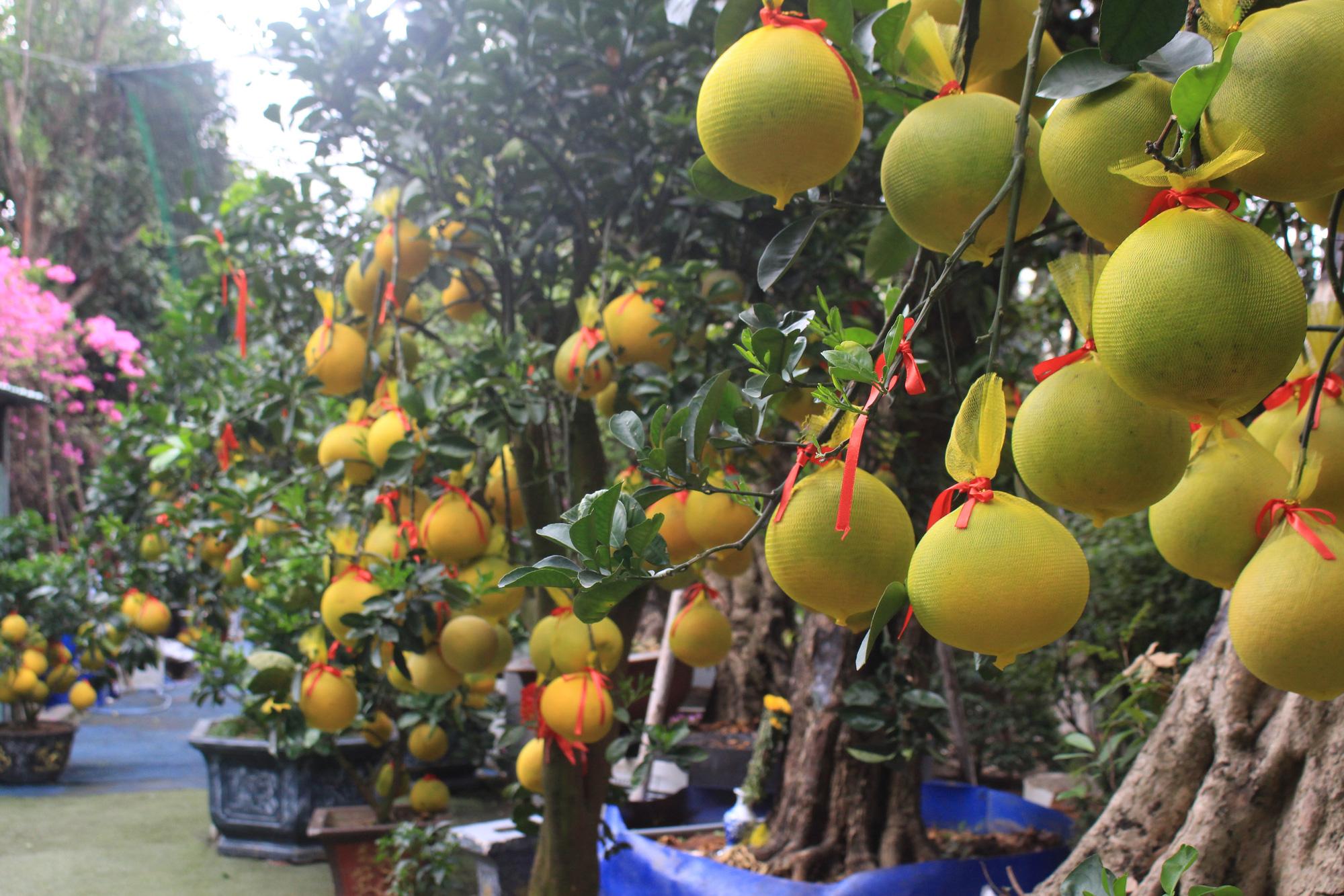 Bưởi Diễn chưng Tết về Sài Gòn, giá tới 70 triệu/cây, người bán bất ngờ vì khách mua nườm nượp - Ảnh 4.