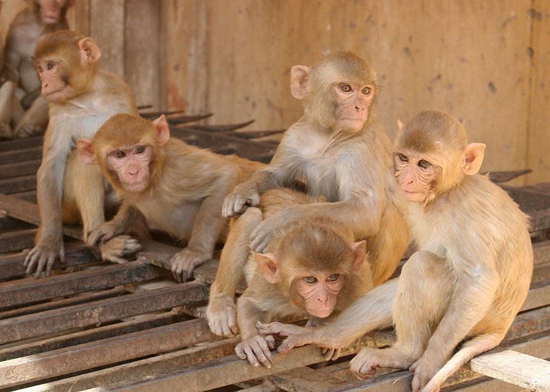 Ngôi đền cho khỉ đẹp tựa cung điện - Ảnh 3.