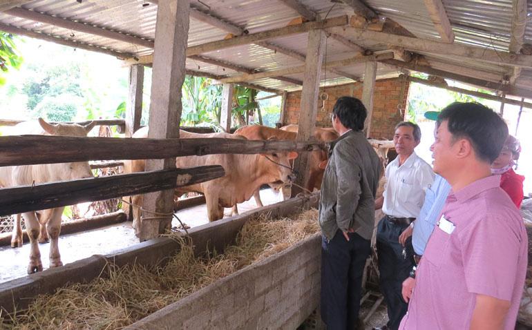 Phú Yên: Nuôi vỗ béo bò đực lai, nông dân lãi lớn - Ảnh 1.