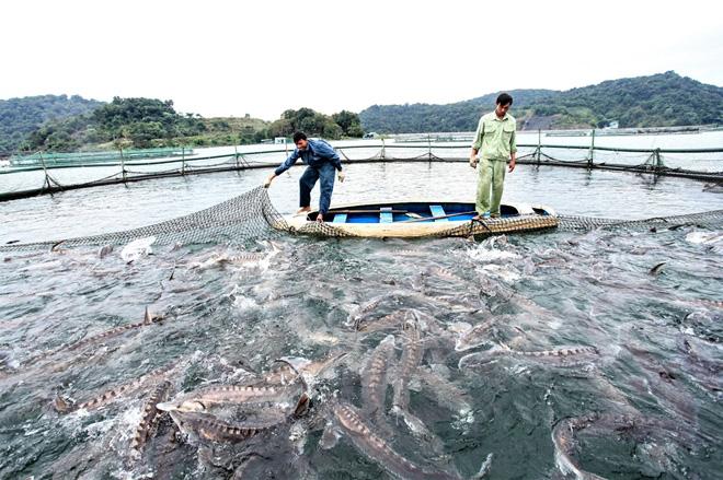 Lâm Đồng: Người nuôi cá tầm điêu đứng vì cá nhập lậu từ Trung Quốc - Ảnh 1.