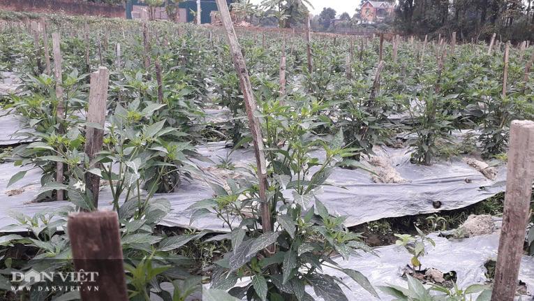 Ớt được mùa được giá, nhiều nông dân ở Thái Nguyên trúng đậm - Ảnh 7.