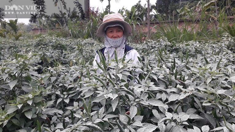 Ớt được mùa được giá, nhiều nông dân ở Thái Nguyên trúng đậm - Ảnh 4.