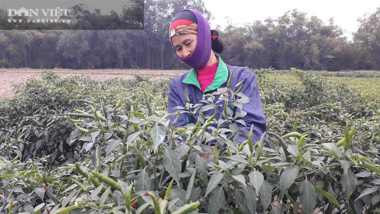 Ớt được mùa được giá, nhiều nông dân ở Thái Nguyên trúng đậm - Ảnh 3.