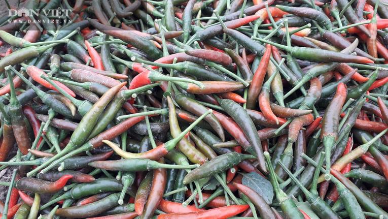 Ớt được mùa được giá, nhiều nông dân ở Thái Nguyên trúng đậm - Ảnh 6.