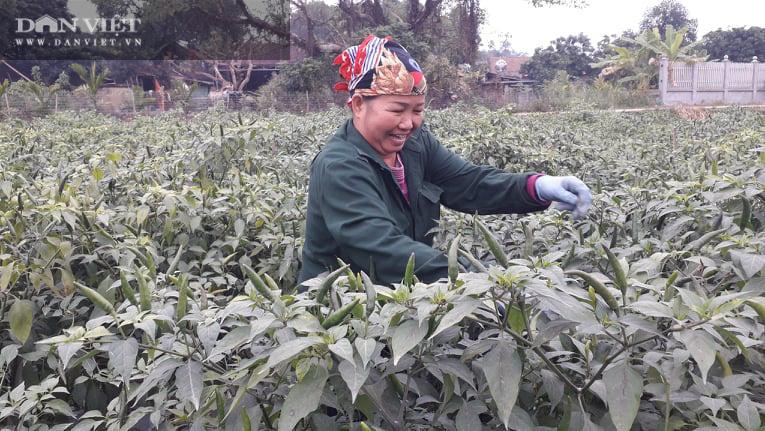 Ớt được mùa được giá, nhiều nông dân ở Thái Nguyên trúng đậm - Ảnh 2.
