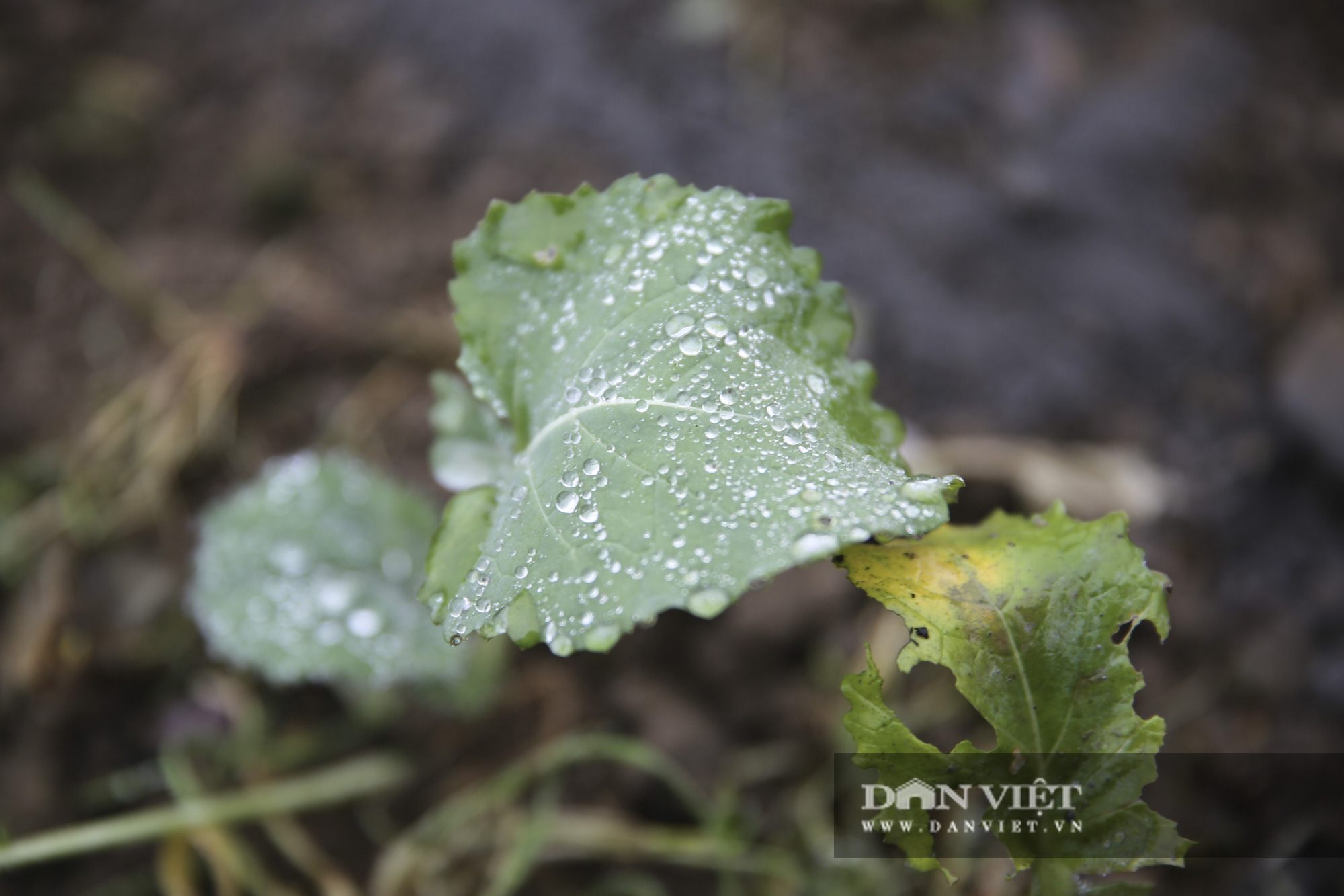 """Nông dân Sa Pa """"căng mình"""" bảo vệ cây trồng, vật nuôi trước nguy cơ xuất hiện mưa tuyết - Ảnh 4."""