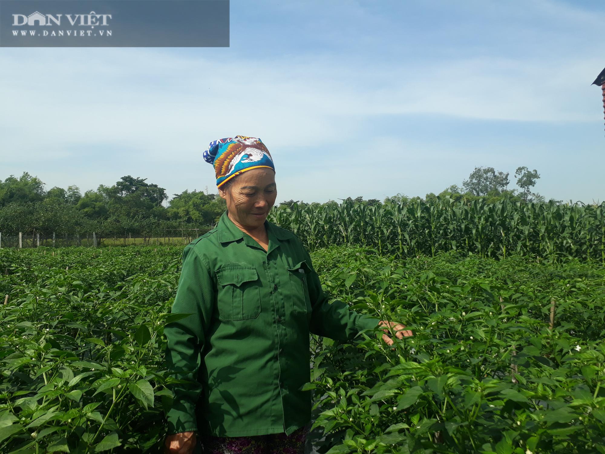 Ớt được mùa được giá, nhiều nông dân ở Thái Nguyên trúng đậm - Ảnh 5.