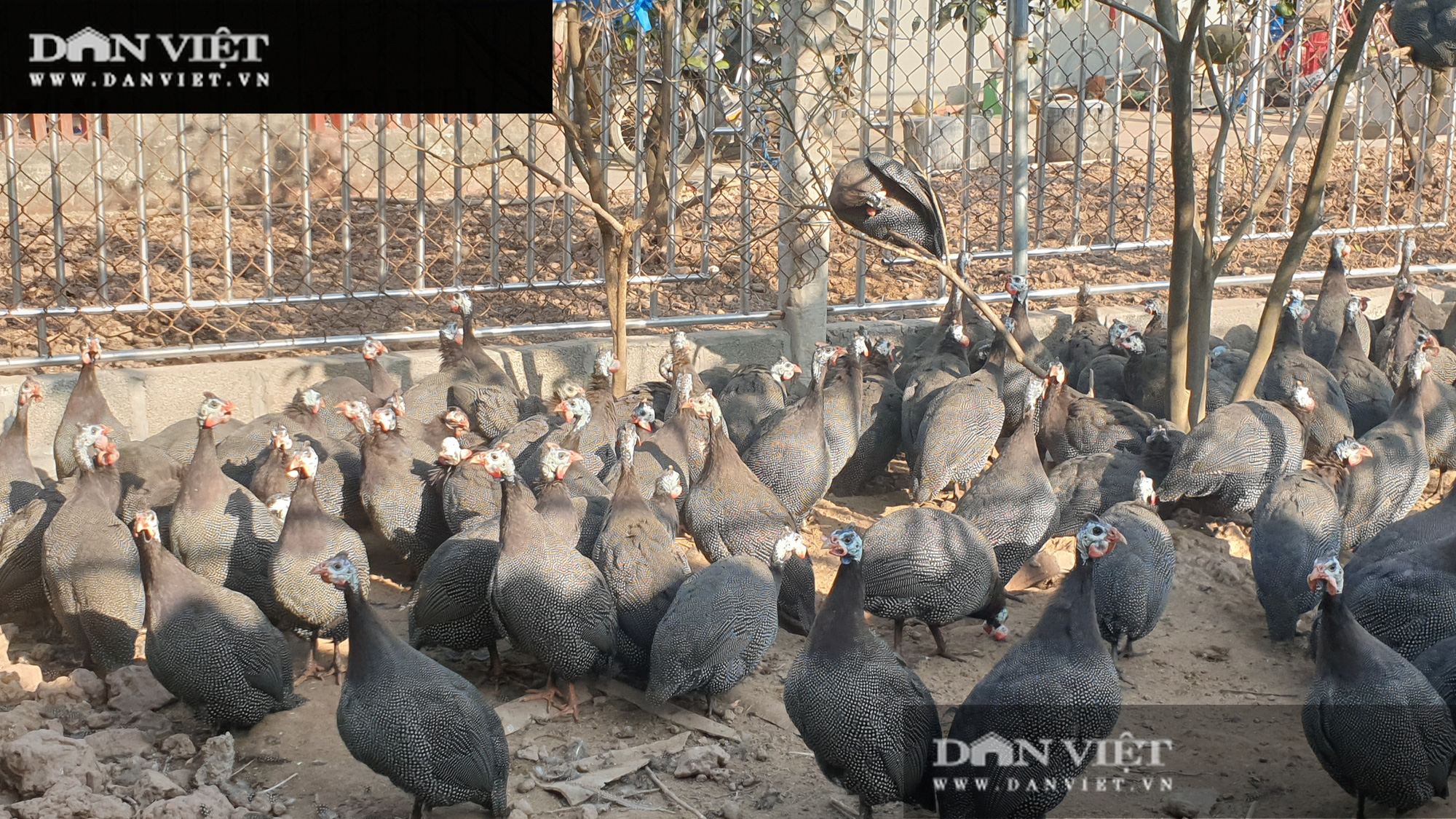 Nuôi con gì bán Tết: Nuôi đàn gà bay như chim, kêu điếc tai, lão nông đếm tiền mỏi tay - Ảnh 3.