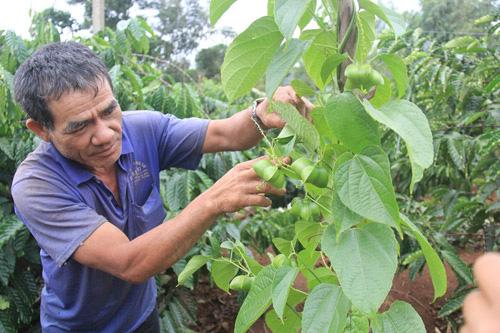 Tin mới về cây sachi: Một doanh nghiệp tỉnh Lâm Đồng vừa xuất khẩu 7 tấn hạt sachi sang Đài Loan - Ảnh 1.