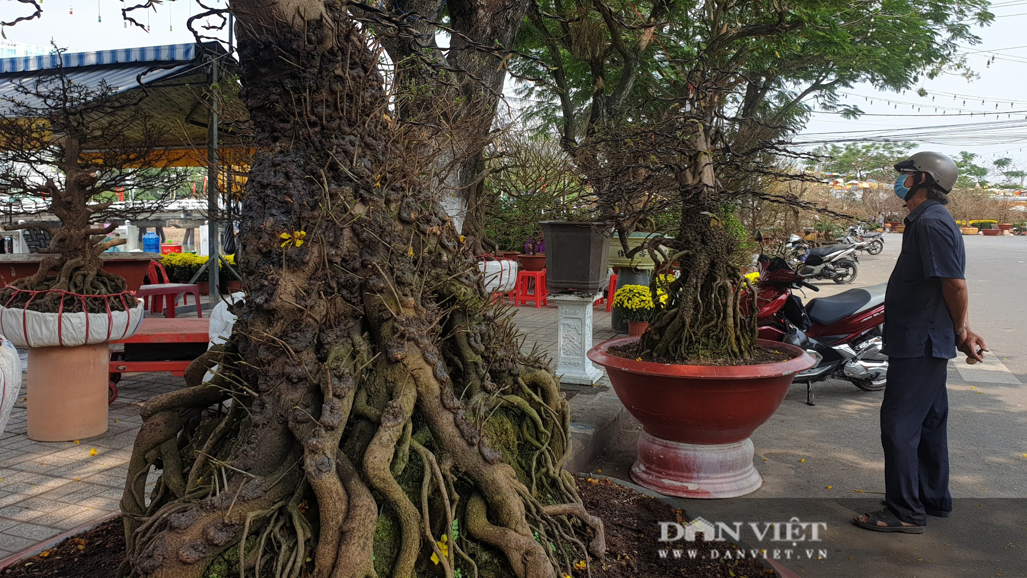 Hai cây mai vàng nổi 'vảy rồng' giá 700 triệu đồng ở An Giang - Ảnh 2.