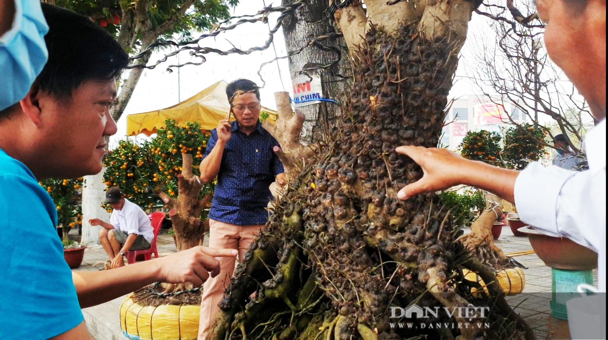 Hai cây mai vàng nổi 'vảy rồng' giá 700 triệu đồng ở An Giang - Ảnh 7.