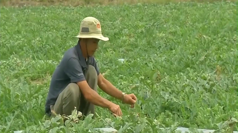 Nông dân Côn Đảo bước vào vụ rau quả Tết - Ảnh 3.