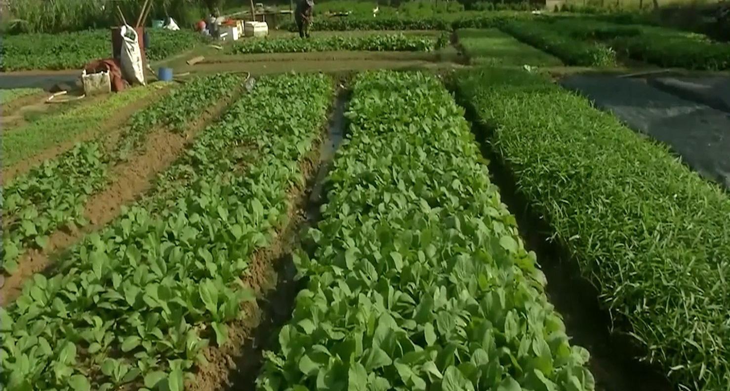 Nông dân Côn Đảo bước vào vụ rau quả Tết - Ảnh 4.