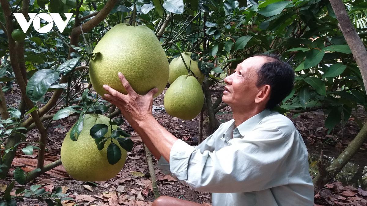 Tiền Giang: Nông dân trồng giống bưởi gì lạ quá, doanh nghiệp ở Sài Gòn xuống đặt mua tới tấp - Ảnh 4.