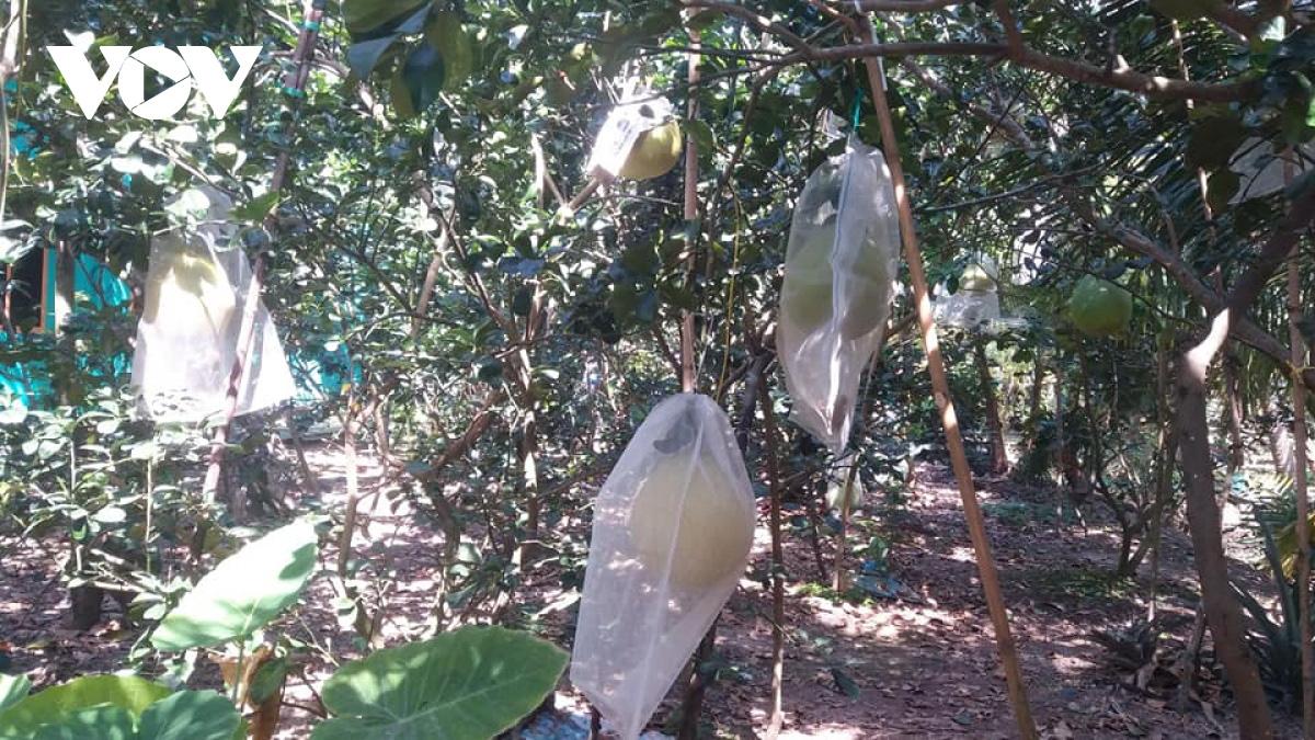 Tiền Giang: Nông dân trồng giống bưởi gì lạ quá, doanh nghiệp ở Sài Gòn xuống đặt mua tới tấp - Ảnh 1.