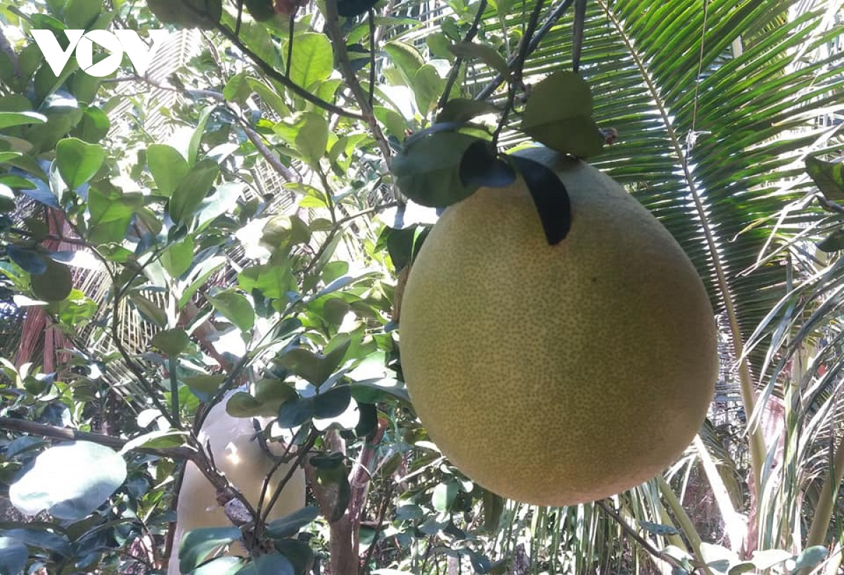 Tiền Giang: Nông dân trồng giống bưởi gì lạ quá, doanh nghiệp ở Sài Gòn xuống đặt mua tới tấp - Ảnh 2.