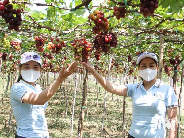 Ninh Thuận: Tết Tân Sửu 2021, các vườn nho trĩu quả, làng gốm Bàu Trúc hút khách tới xông đất đầu năm - Ảnh 3.