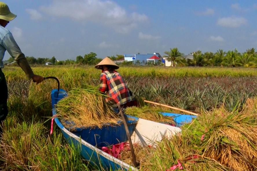 Kiên Giang: Lúa bệ ở vùng đất này trồng như thế nào mà xay ra thứ gạo sạch 100%? - Ảnh 1.