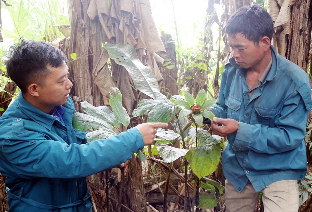 """Lào Cai: Chàng trai người Hà Nhì và khu vườn """"bí ẩn"""" trồng cây thuốc quý mà thương lái Trung Quốc đang săn lùng - Ảnh 1."""
