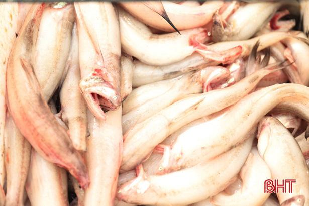 Hà Tĩnh: Ngư dân trúng đậm loại cá nhão như cháo, được dân nhậu lùng mua, mỗi tàu lãi 5-7 triệu - Ảnh 3.