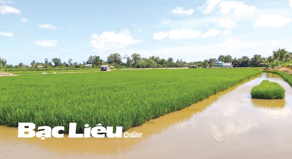 """Bạc Liêu: Vùng đất dân đổi đời nhờ mô hình """"con tôm ôm cây lúa"""", nếu con tôm ôm lúa ST 25 thì giàu hơn - Ảnh 2."""