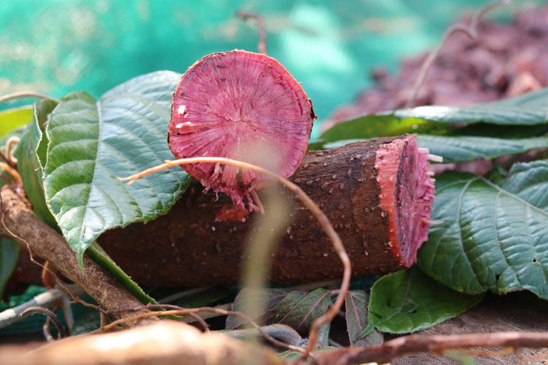Lâm Đồng: Vô rừng đào củ Chi Kut, hái 27 thứ lá, rễ cây nhìn như cỏ dại, không ngờ là bài thuốc quý - Ảnh 2.