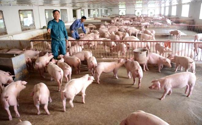 Tuyên Quang: Năm trâu lên xứ nuôi trâu ngố lại gặp ông tỷ phú nông dân nuôi lợn, doanh thu năm 2020 là 20 tỷ - Ảnh 3.