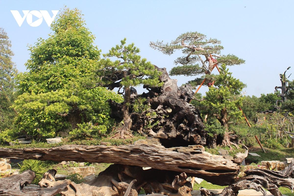Tiền Giang: Vườn kiểng cổ thụ lớn nhất miền Tây, cây Vạn niên tùng 100 tuổi trông thế này mà giá tới 5 tỷ đồng - Ảnh 6.