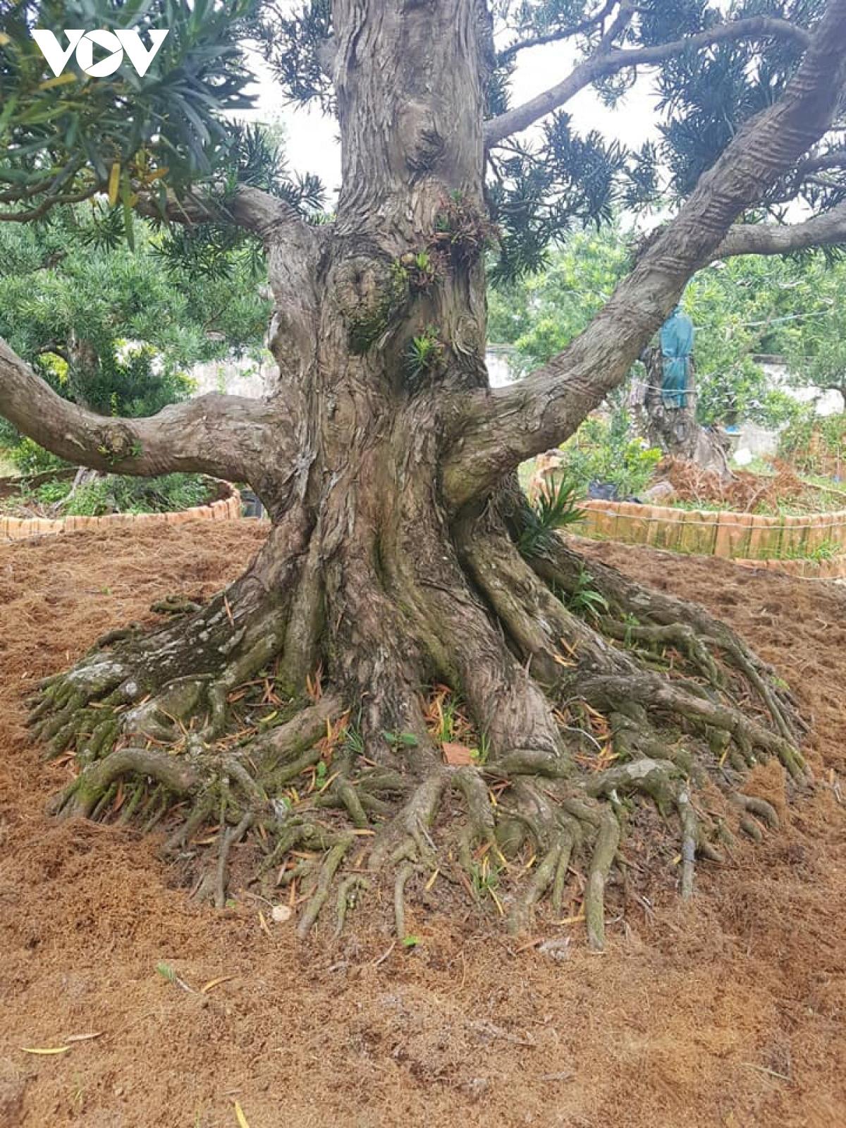 Tiền Giang: Vườn kiểng cổ thụ lớn nhất miền Tây, cây Vạn niên tùng 100 tuổi trông thế này mà giá tới 5 tỷ đồng - Ảnh 5.