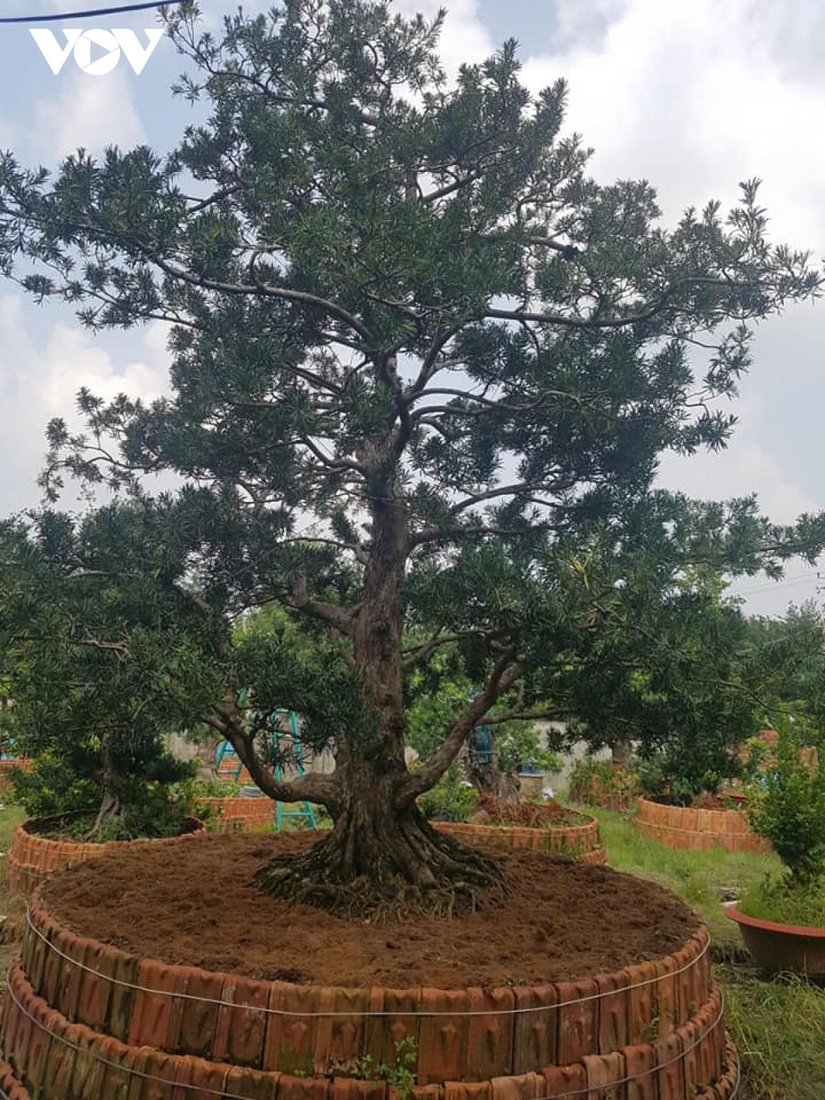 Tiền Giang: Vườn kiểng cổ thụ lớn nhất miền Tây, cây Vạn niên tùng 100 tuổi trông thế này mà giá tới 5 tỷ đồng - Ảnh 4.