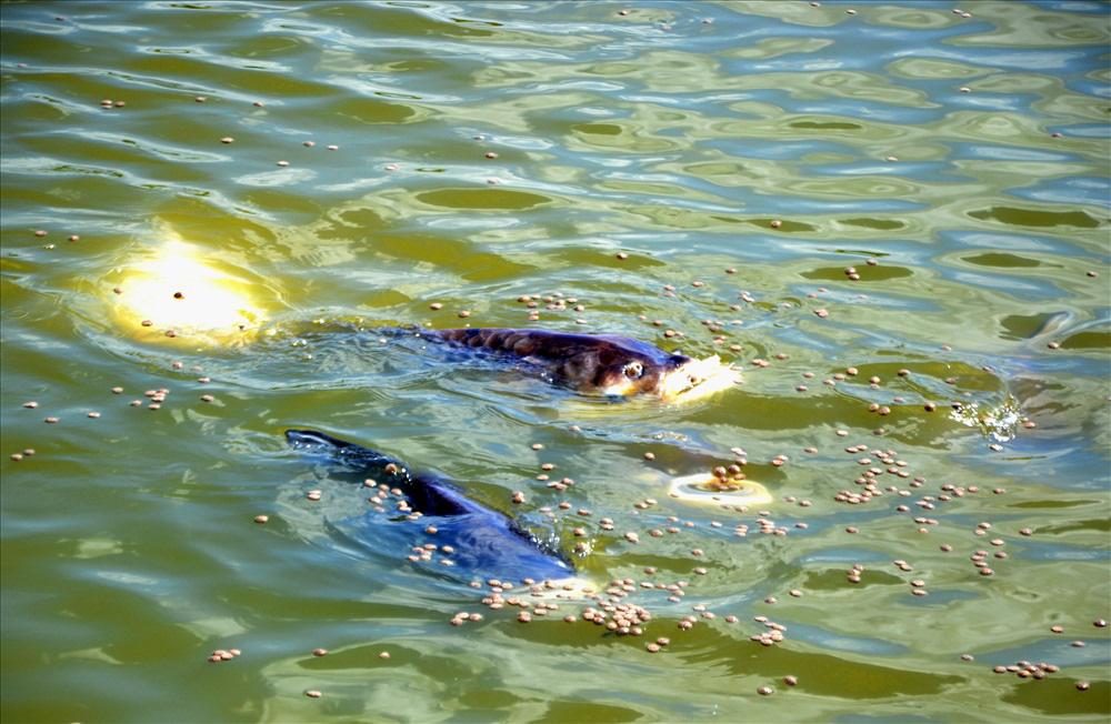 Cá hô trong ao đang ăn thức ăn công nghiệp chung với cá rô phi. Ảnh: LT