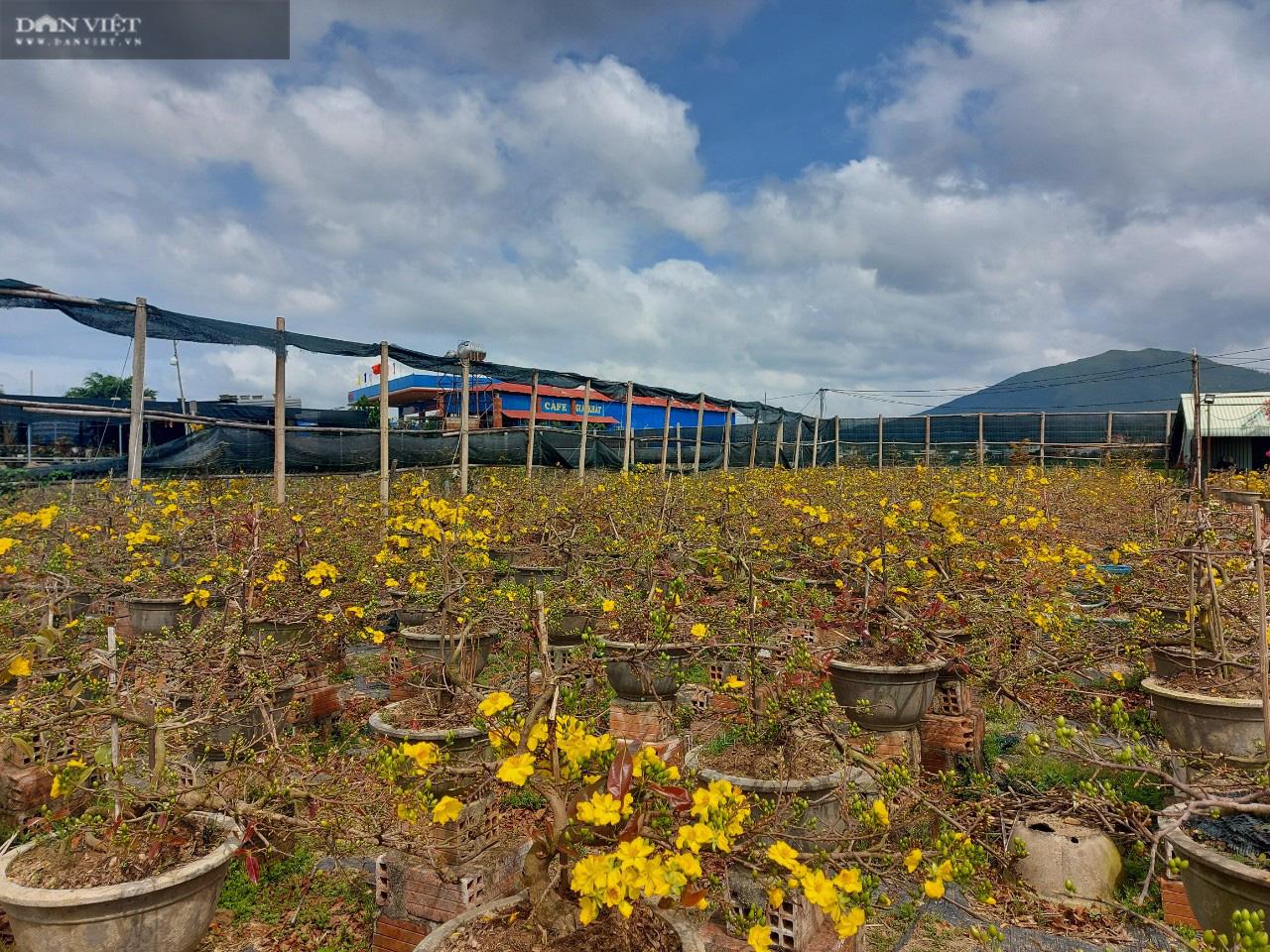 """Bình Định: Trồng cây ra hoa màu vàng, chỉ bán """"chạy"""" dịp Tết, thu về gần 80 tỷ đồng - Ảnh 1."""