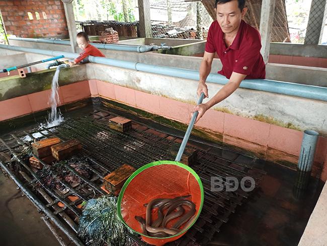 """Bình Định: Nuôi lươn không bùn trong bể xi măng, lấy vợt xúc lươn lên ai cũng thốt lên """"sao to bự thế"""" - Ảnh 3."""