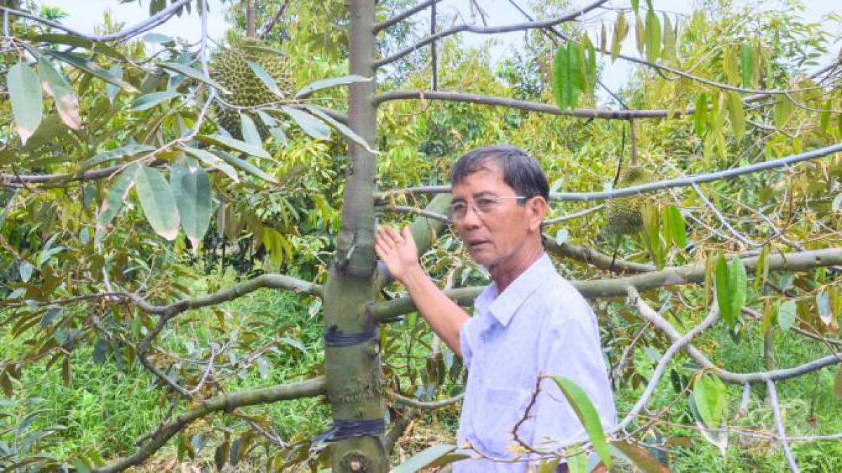"""Ông nông dân Bến Tre có nhiều giống sầu riêng quý, bòn bon ăn siêu ngon, trồng là """"đẻ"""" ra tiền - Ảnh 2."""