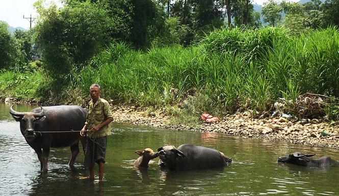 """Thái Nguyên: Vùng đất này có những """"dị nhân"""" toàn nuôi trâu khủng, mua 30 triệu sau 4 tháng có con bán được 70 triệu - Ảnh 1."""