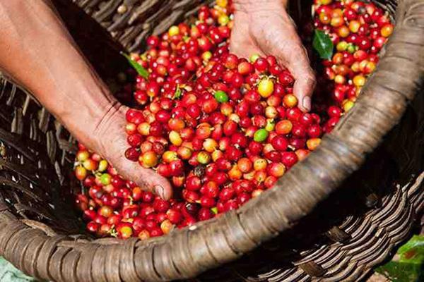 Giá nông sản hôm nay 2/2: Cà phê đồng loạt tăng mạnh - Ảnh 2.