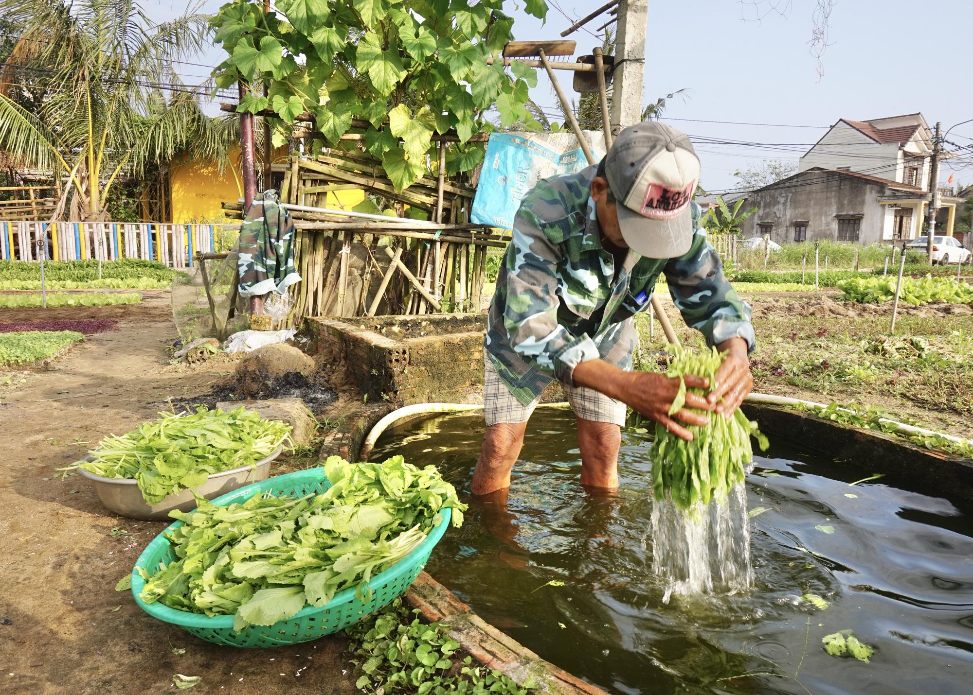 Quảng Nam: Sau Tết, nông dân Trà Quế méo mặt vì rau xanh rớt giá - Ảnh 1.