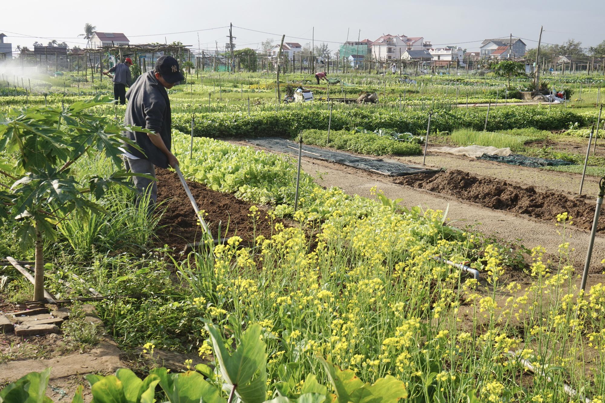 Quảng Nam: Sau Tết, nông dân Trà Quế méo mặt vì rau xanh rớt giá - Ảnh 2.
