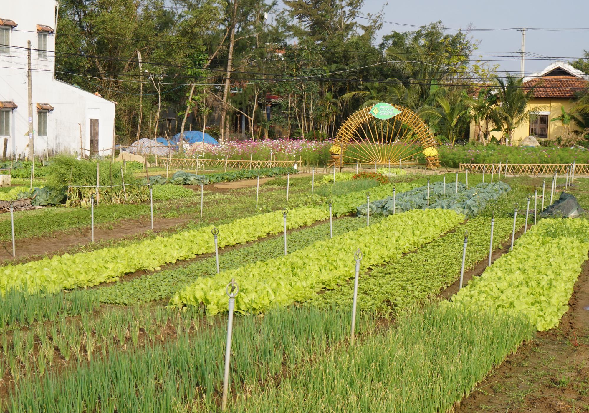 Quảng Nam: Sau Tết, nông dân Trà Quế méo mặt vì rau xanh rớt giá - Ảnh 3.
