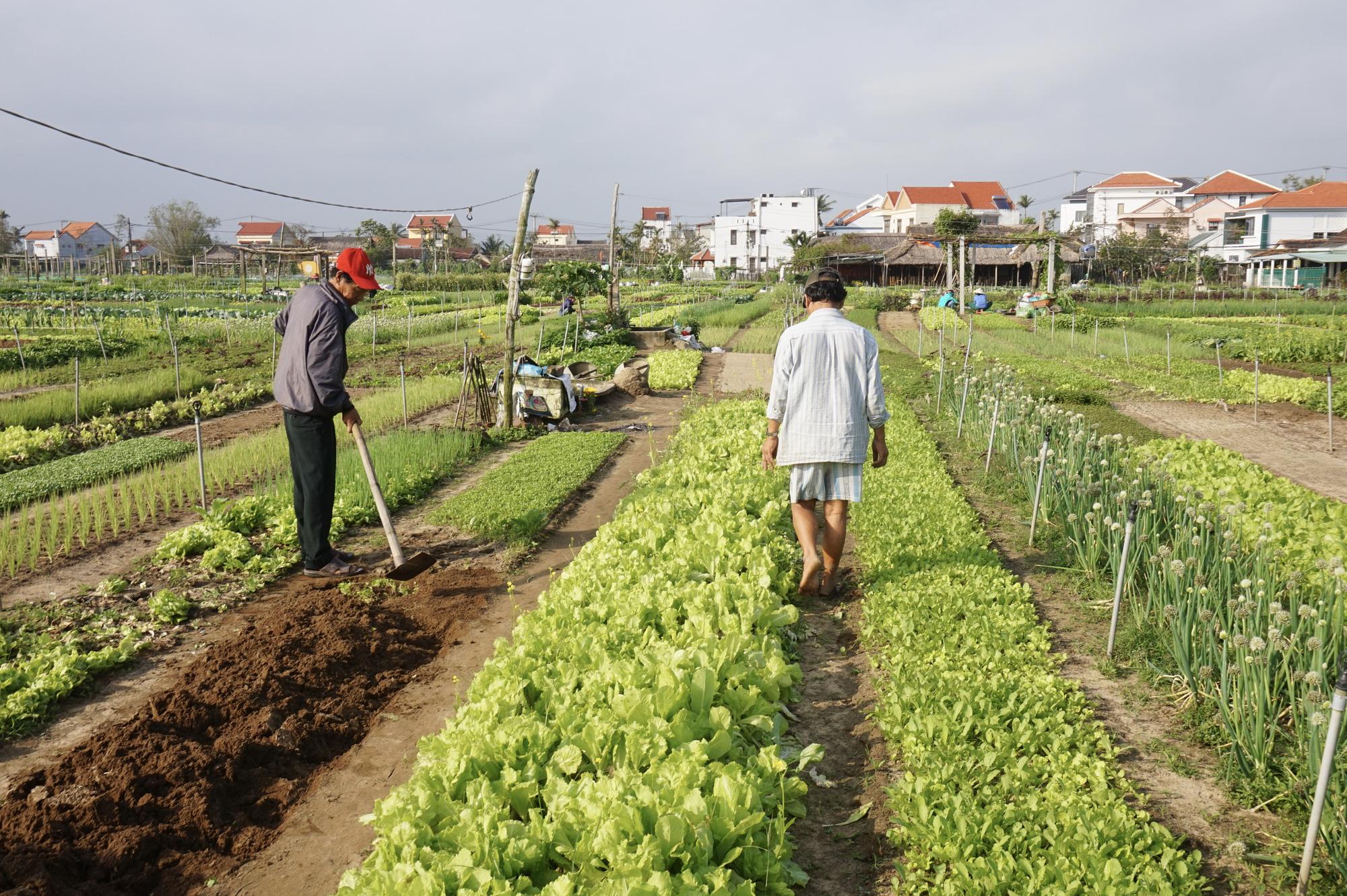 Quảng Nam: Sau Tết, nông dân Trà Quế méo mặt vì rau xanh rớt giá - Ảnh 4.