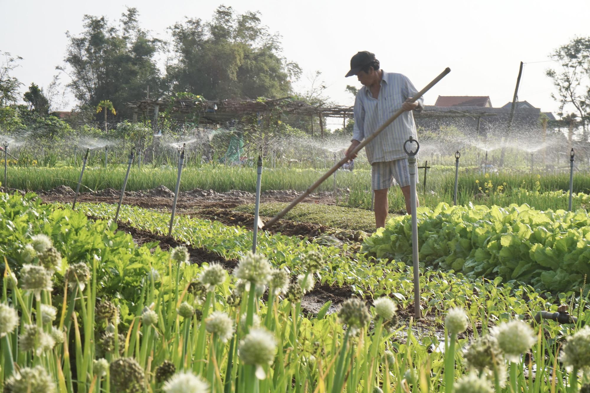 Quảng Nam: Sau Tết, nông dân Trà Quế méo mặt vì rau xanh rớt giá - Ảnh 5.