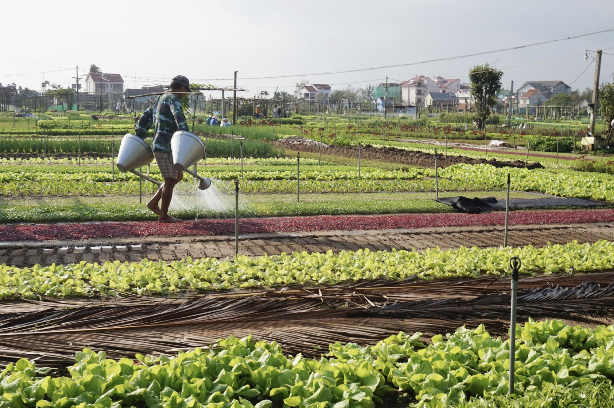 Quảng Nam: Sau Tết, nông dân Trà Quế méo mặt vì rau xanh rớt giá - Ảnh 6.