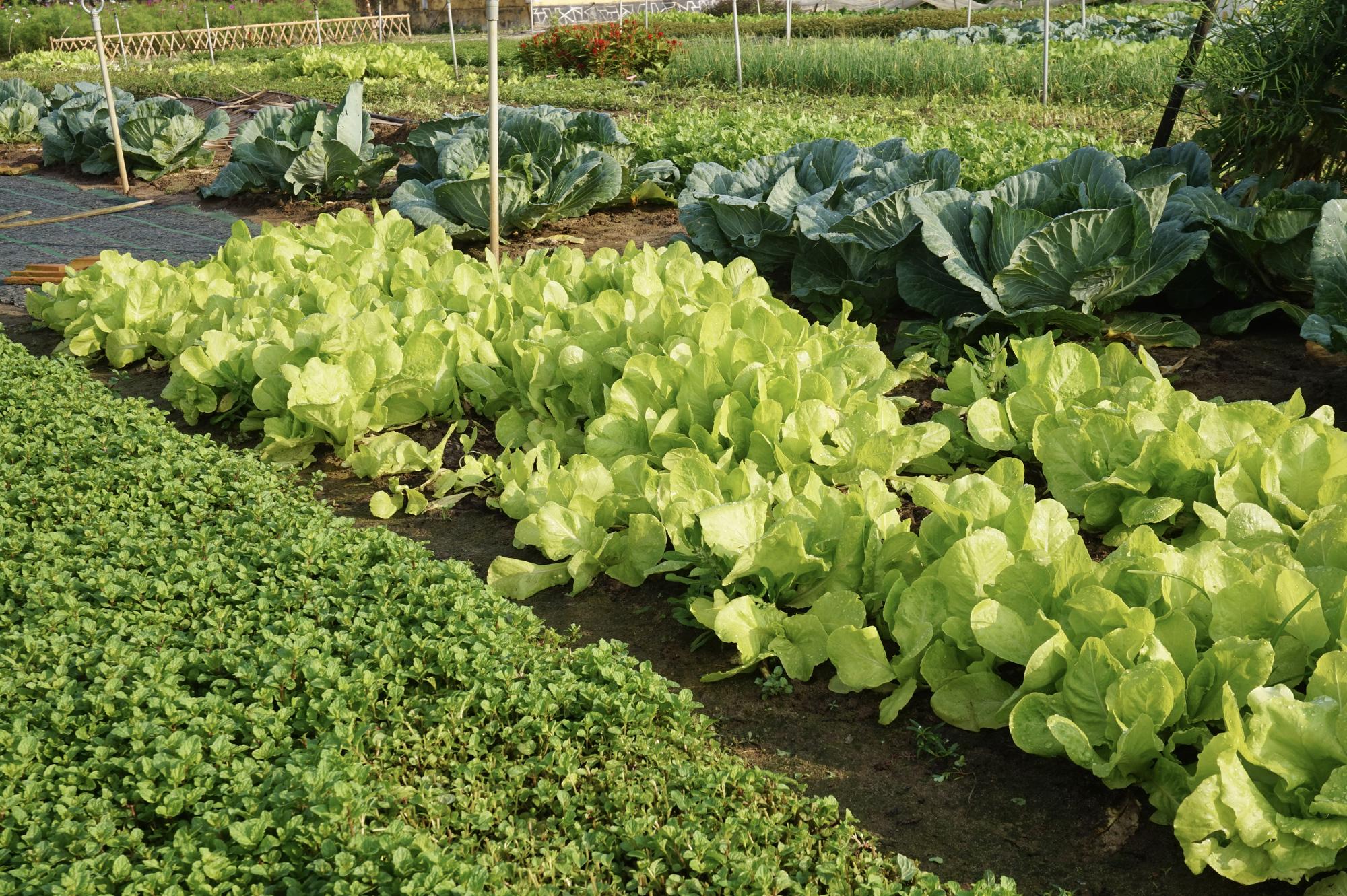 Quảng Nam: Sau Tết, nông dân Trà Quế méo mặt vì rau xanh rớt giá - Ảnh 7.
