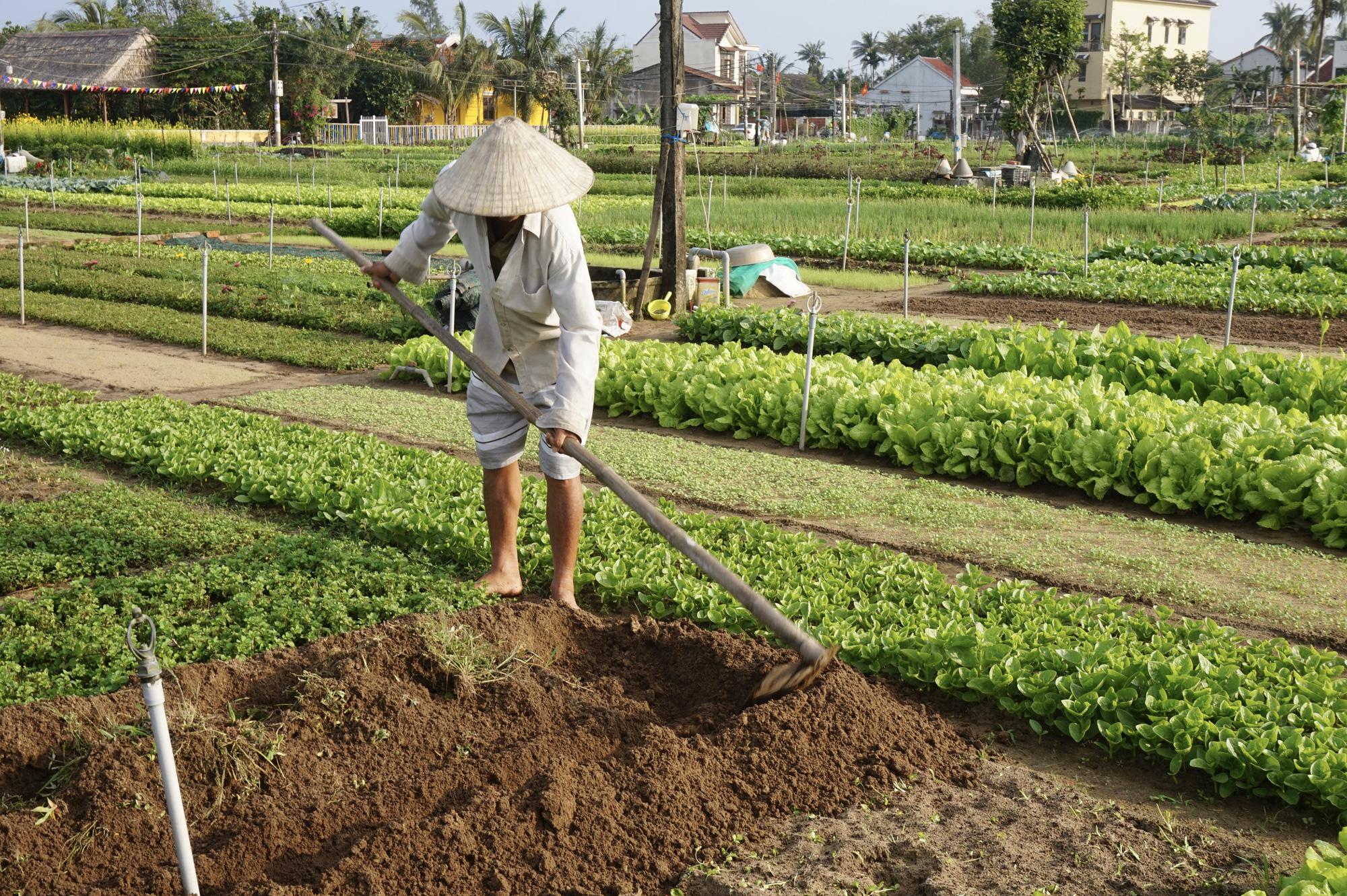 Quảng Nam: Sau Tết, nông dân Trà Quế méo mặt vì rau xanh rớt giá - Ảnh 8.