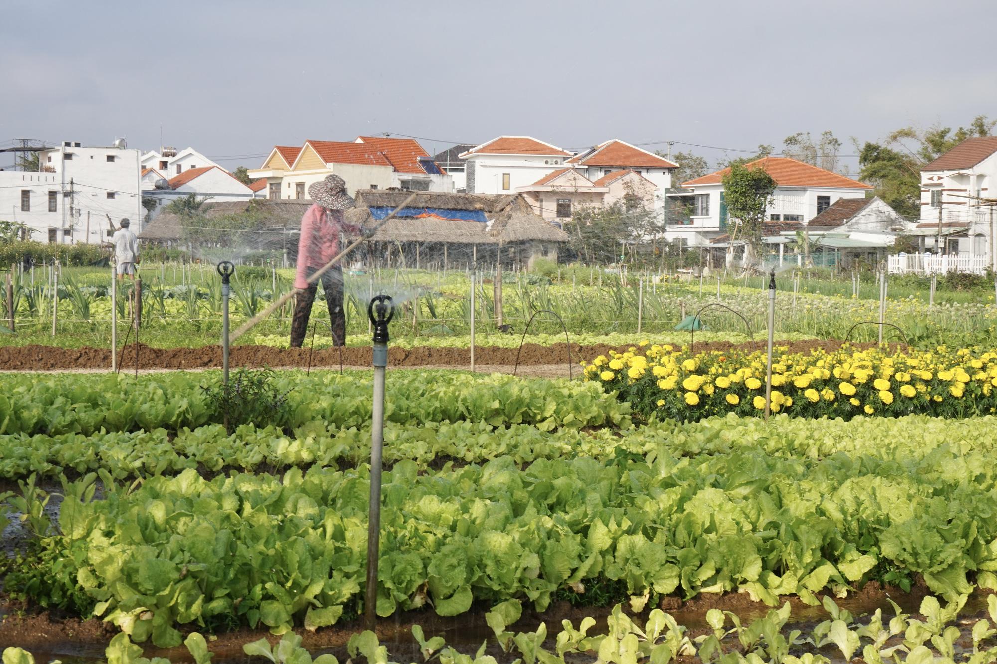 Quảng Nam: Sau Tết, nông dân Trà Quế méo mặt vì rau xanh rớt giá - Ảnh 9.