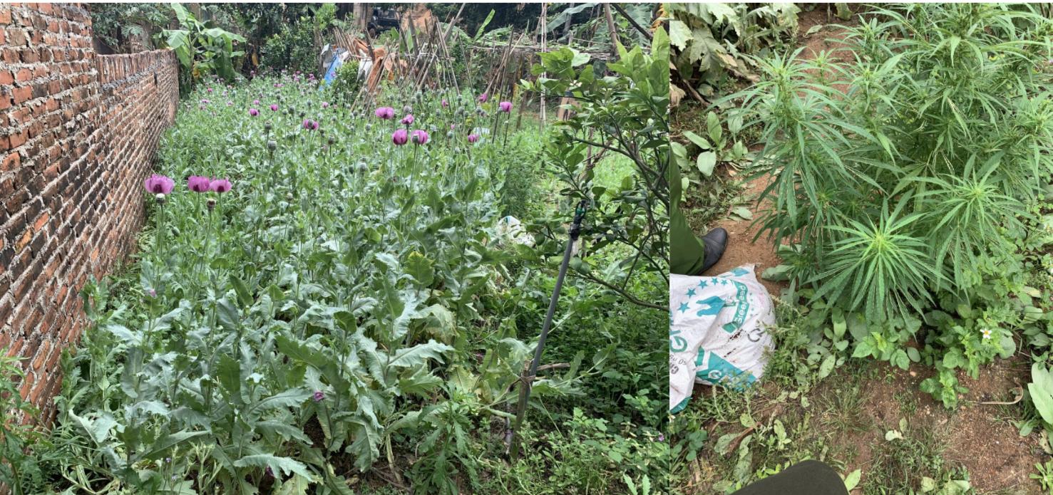 Vườn cần sa, anh túc 3.000 cây trồng tại nhà dân bị phát hiện - Ảnh 1.