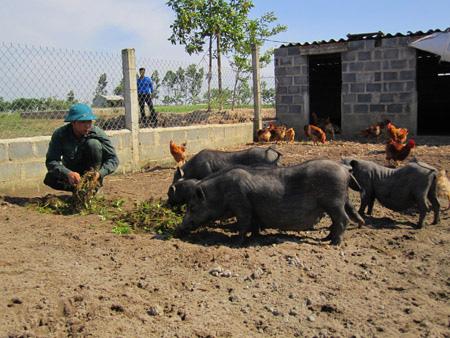 """Thái Bình: Biến ruộng trũng thành trang trại nuôi """"lung tung"""", có cả thứ lợn Mường lạ mắt, nông dân này giàu lên - Ảnh 1."""