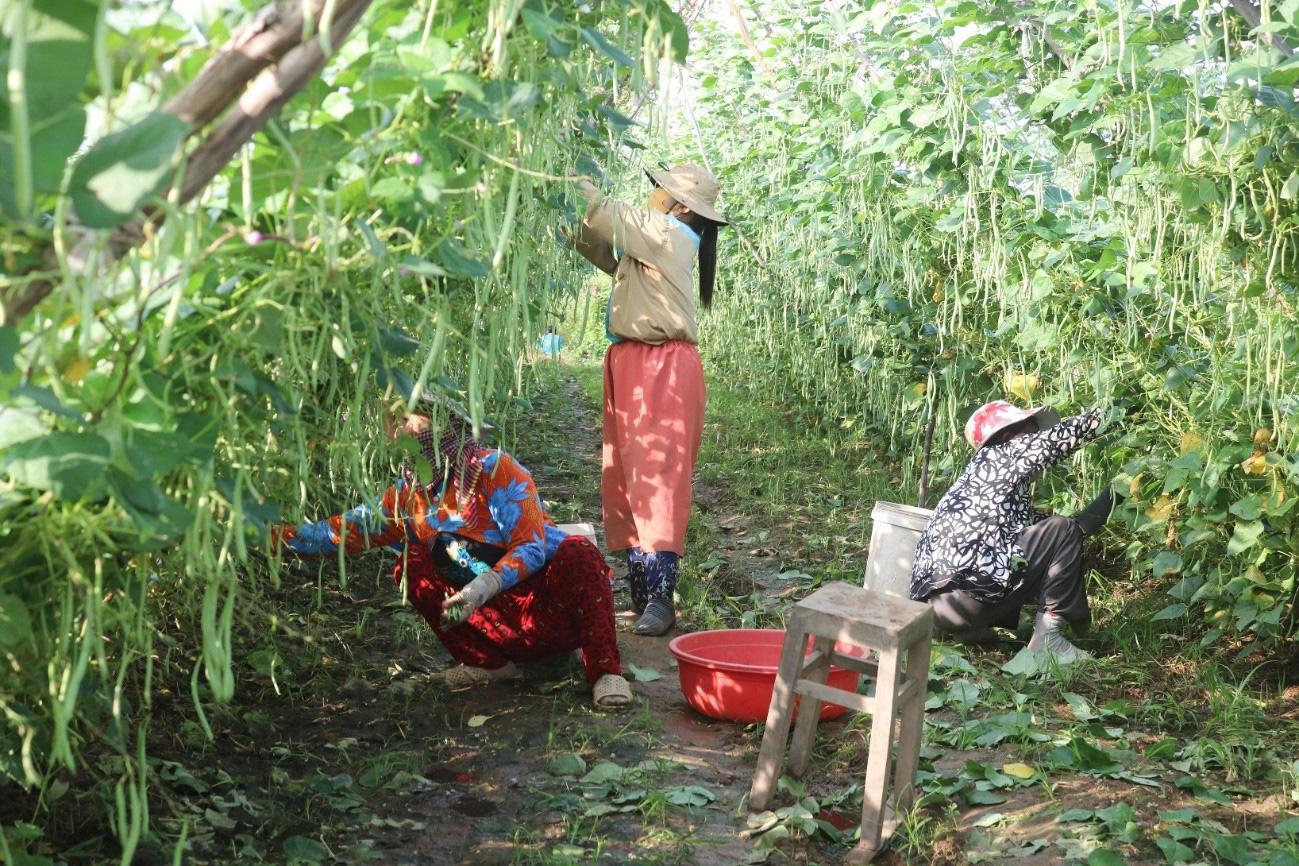 An Giang: Ruộng trồng đậu cô ve leo giàn đẹp như phim, trái ra quá trời, hái mỏi cả tay, thu được cục tiền to - Ảnh 1.