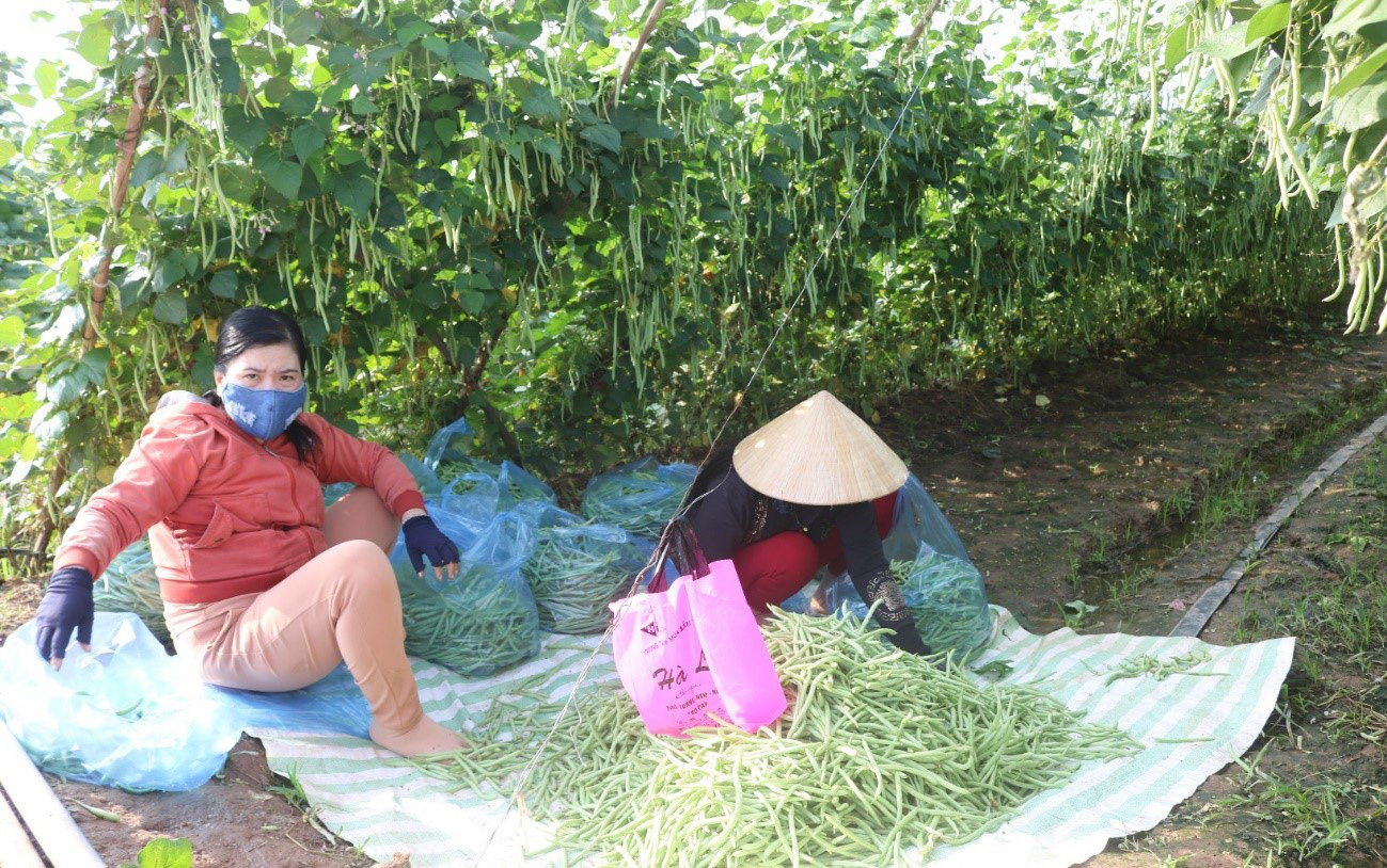 An Giang: Ruộng trồng đậu cô ve leo giàn đẹp như phim, trái ra quá trời, hái mỏi cả tay, thu được cục tiền to - Ảnh 2.