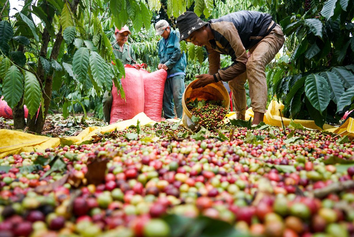 Giá nông sản hôm nay 21/2: Cà phê và tiêu đi ngang - Ảnh 1.